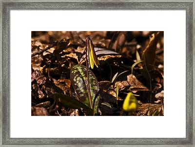 Trout Lily I Framed Print by Michael Whitaker