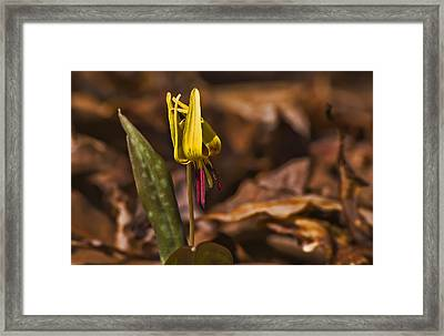 Trout Lily II Framed Print by Michael Whitaker