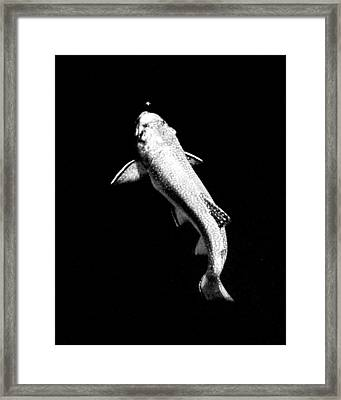 Trout Rising Framed Print by Kevin Munro