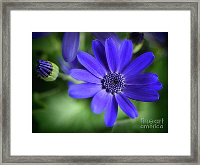 True Blue In The Garden Shadows Framed Print by Dorothy Lee