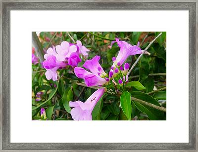 Trumpet Flower 7 Framed Print by Lanjee Chee