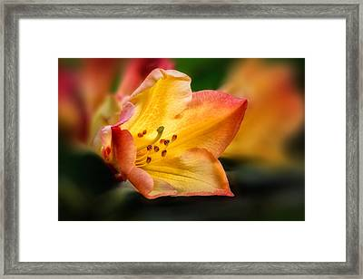 Trumpet Of Spring Framed Print by Mary Jo Allen