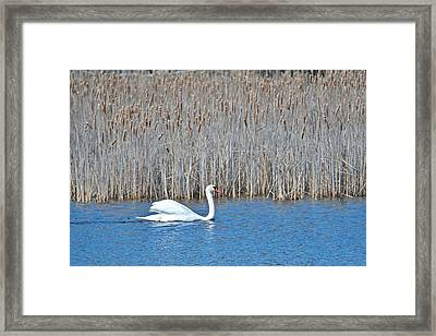 Framed Print featuring the photograph Trumpeter Swan 0967 by Michael Peychich