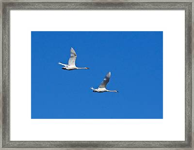 Framed Print featuring the photograph Trumpeter Swan 1727 by Michael Peychich
