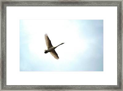 Trumpeter Swan In Flight Framed Print