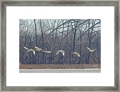 Trumpeter Swan In Flight Framed Print by Natural Focal Point Photography
