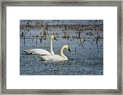 Trumpeter Swan - Pair Framed Print by Nikolyn McDonald
