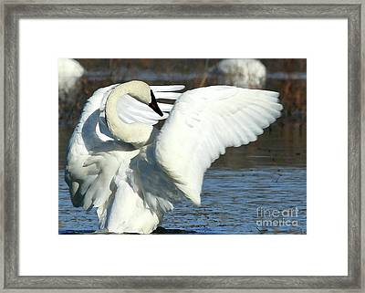 Framed Print featuring the photograph Trumpeter Swan by Paula Guttilla