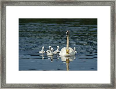 Trumpeter Swan With Cygnets Framed Print by Ron Read