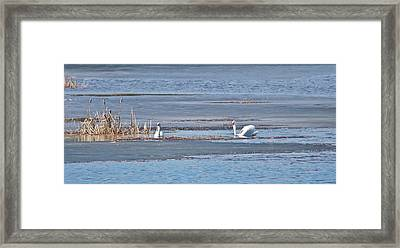 Framed Print featuring the photograph Trumpeter Swans 0933 by Michael Peychich