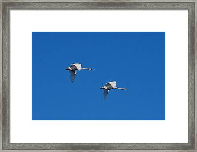 Framed Print featuring the photograph Trumpeter Swans 1725 by Michael Peychich