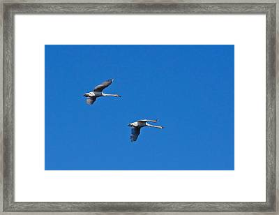 Framed Print featuring the photograph Trumpeter Swans 1726 by Michael Peychich