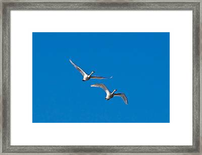 Framed Print featuring the photograph Trumpeter Swans 1735 by Michael Peychich
