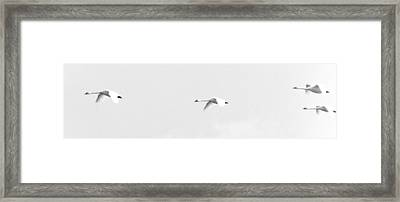 Trumpeter Swans In Flight Framed Print by Craig Perry-Ollila
