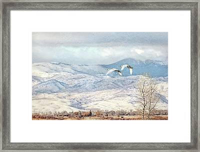 Framed Print featuring the photograph Trumpeter Swans Winter Flight by Jennie Marie Schell