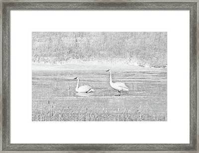 Framed Print featuring the photograph Trumpeter Swan's Winter Rest Gray by Jennie Marie Schell