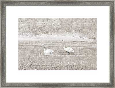 Framed Print featuring the photograph Trumpeter Swan's Winter Rest Beige by Jennie Marie Schell