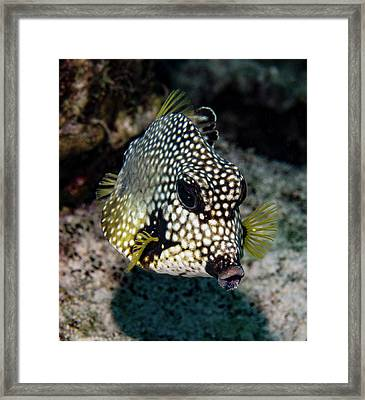 Trunkfish Portrait Framed Print by Jean Noren