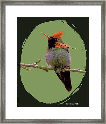 Tufted Coquette Hummingbird Framed Print by Larry Linton