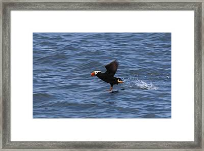 Framed Print featuring the photograph Tufted Puffin by Christy Pooschke