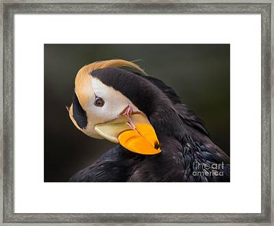 Tufted Puffin Preening Framed Print