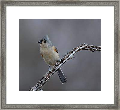 Tufted Titmouse 2 Framed Print by Todd Hostetter