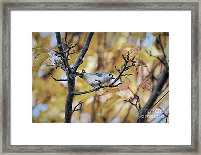Framed Print featuring the photograph Tufted Titmouse In Autumn by Kerri Farley