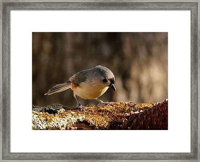 Tufted Titmouse In Fall Framed Print