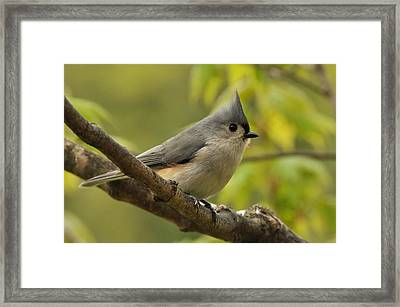 Tufted Titmouse In Sugar Maple Framed Print by Gerald Hiam