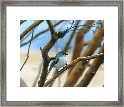 Tufted Titmouse In Tree Framed Print