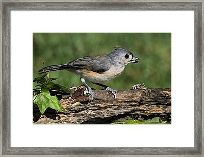 Tufted Titmouse On Tree Branch Framed Print