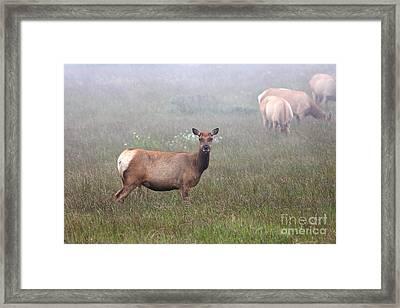 Tule Elk In Fog Framed Print by Wingsdomain Art and Photography