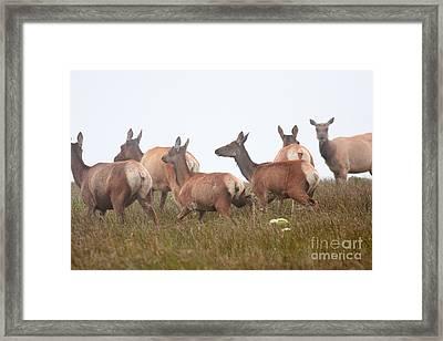 Tule Elks Into The Fog Framed Print