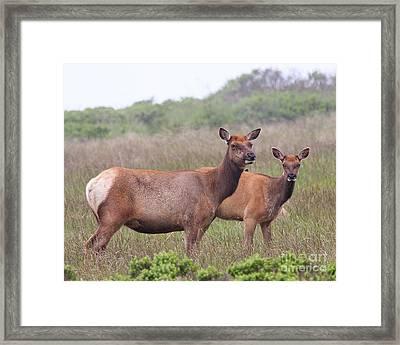 Tule Elks Of Point Reyes Framed Print