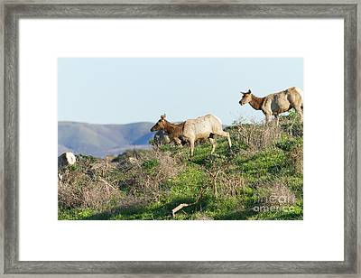 Tules Elks At Tomales Bay Point Reyes National Seashore California 5dimg9315 Framed Print