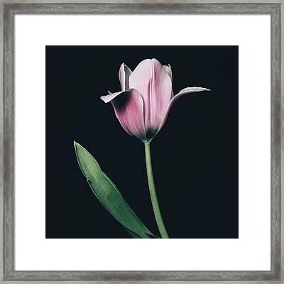 Tulip #0154 Framed Print