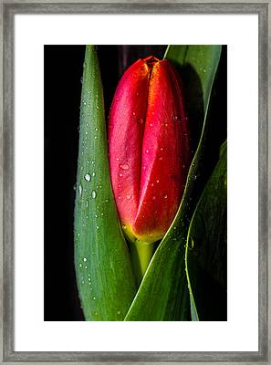 Tulip And Droplets Framed Print