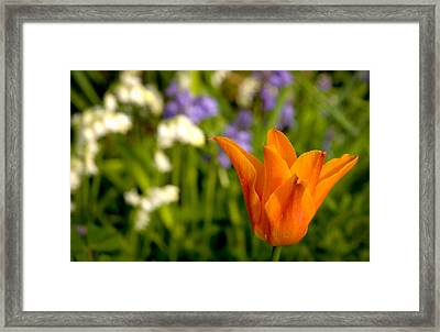 Tulip And Friends L Framed Print by Andy Smy