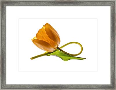 Tulip Art On White Background Framed Print by Vishwanath Bhat