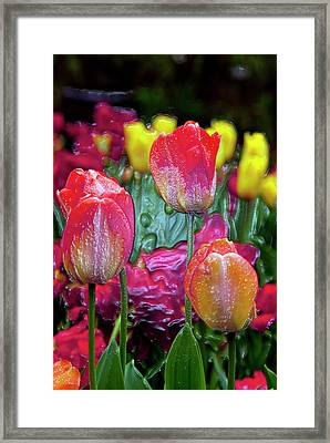 Tulip Candy Framed Print by Don  Wright