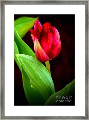 Tulip Caught In The Light Framed Print