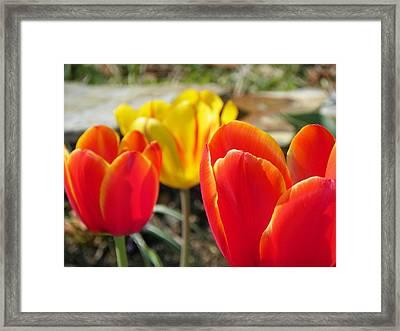Tulip Celebration Framed Print by Karen Wiles