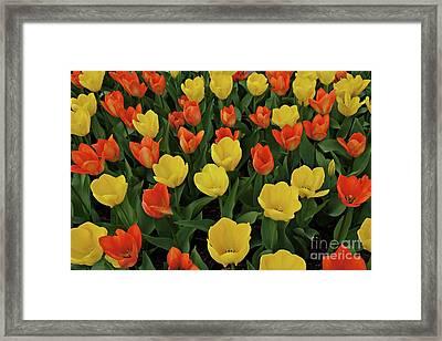 Tulip Chorus Framed Print