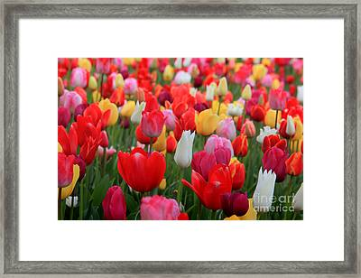 Framed Print featuring the photograph Tulip Color Mix by Peter Simmons