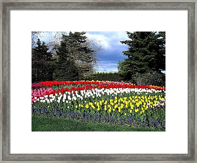 Tulip Country Framed Print by Will Borden