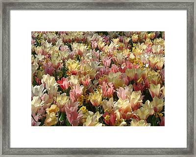 Tulip Delight 3 Framed Print by Shiana Canatella