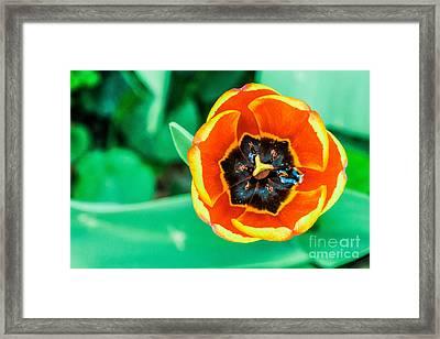 Tulip Framed Print by Dennis Wagner
