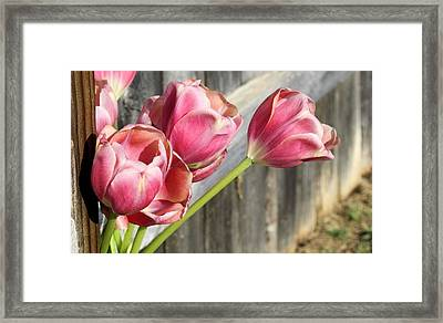 Tulip Fence Framed Print
