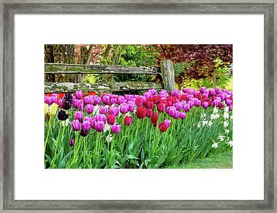 Tulip Fence Framed Print by Mary Jo Allen