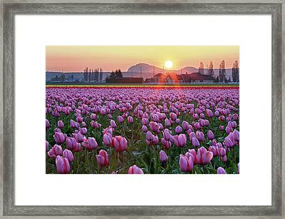 Tulip Field At Sunset Framed Print by Davidnguyenphotos